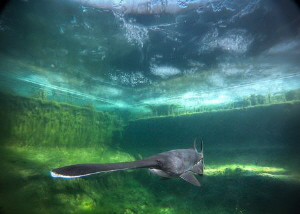 Paddlefish in Temperate water.. cold, green.. under the ice by Steven Miller